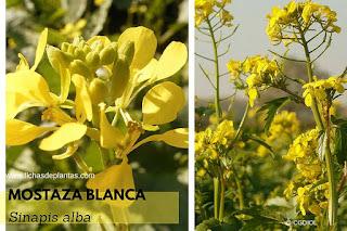mostaza planta
