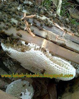 cara ternak lebah madu dan klanceng jawa tengah
