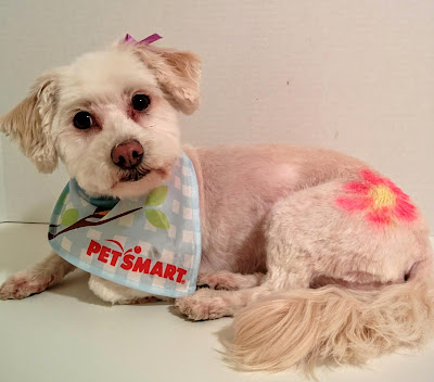 Phoebe looks adorable after her expert #PetSmartGrooming #ad