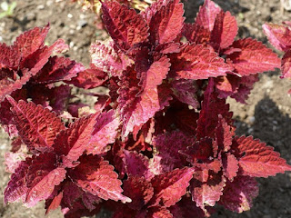 Solenostemon scutellarioides 'Indian Summer' - Plectranthus scutellarioides 'Indian Summer'