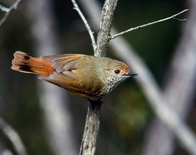 brown_thornbill_3.jpg