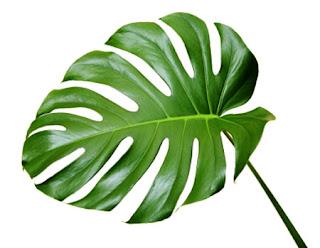 Filadendron Monstera otrovna biljka za kućne ljubimce