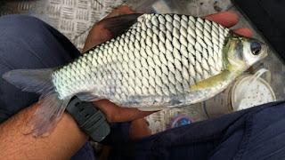 Ciri ciri ikan Bader