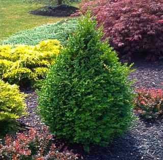 Green mountain boxwood bush.