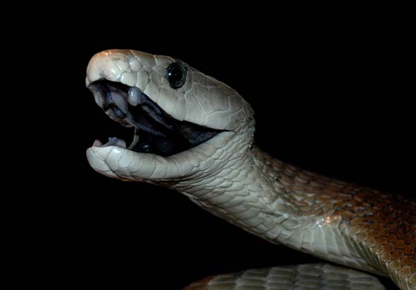 Gago: Black Mamba - King of Snakes