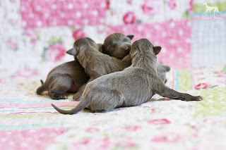 Italian Greyhound puppies available