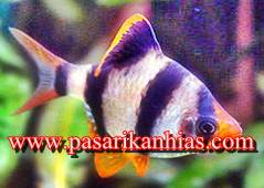 Jenis Jenis Ikan Hias Berukuran Kecil