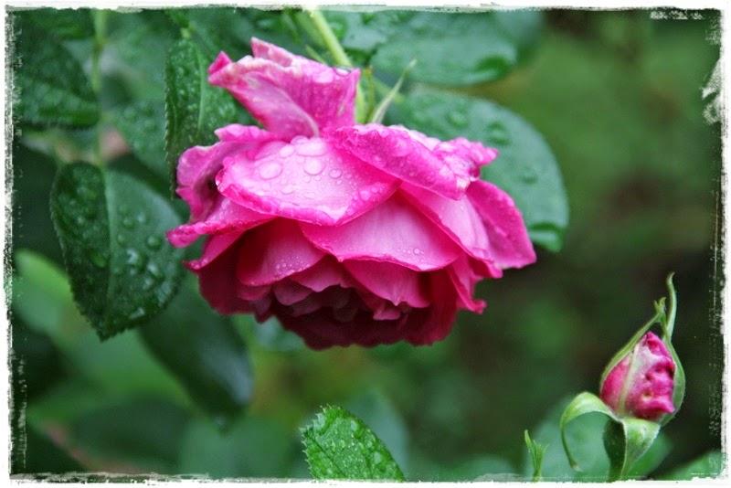 rosen lassen köpfe hängen