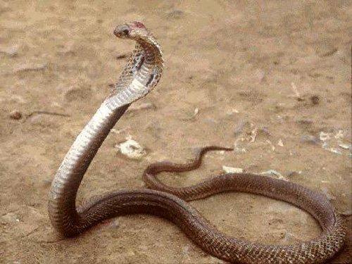 Cobra Filipina (Naja Naja Philippinensis)