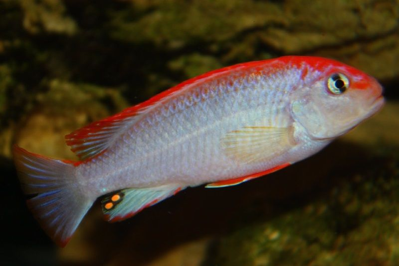 Gambar jenis jenis ikan cichlid ( Malawi Cichlids ) - Pola warna ndumbi