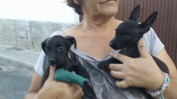 cachorros talla mini