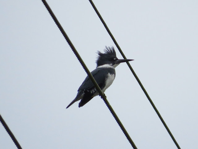 Belted Kingfisher - Merritt Island, Florida