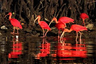 Aqui, no Brasil, encontra-se no  litoral norte do Brasil – no Delta do Rio Parnaíba, (Divisa do Ceará com Piauí), na foz do Rio Preguiças (Maranhão), havendo grupos isolados já relatados em São Paulo (Cubatão) e também no Paraná. Antigamente ocorria em todo o litoral brasileiro, até a ilha de Santa catarina. Cidades como Guaratuba (em tupi, guará-tuba significa muito guará), do estado do Paraná, lembram que essas aves ali existiam em grande número.