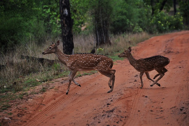 running deer safari Bandhavgarh National Park and Tiger Reserve