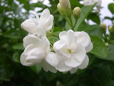 Manfaat dan Khasiat Bunga Melati untuk Kesehatan