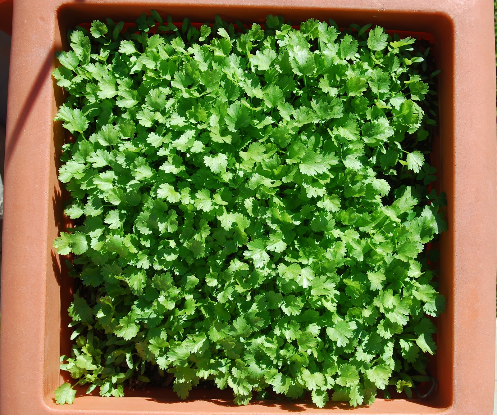 Growing Cilantro Sprouts images