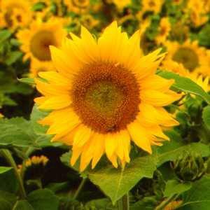 Contoh Teks Laporan Hasil Observasi Bunga Matahari Dapatkan Contoh