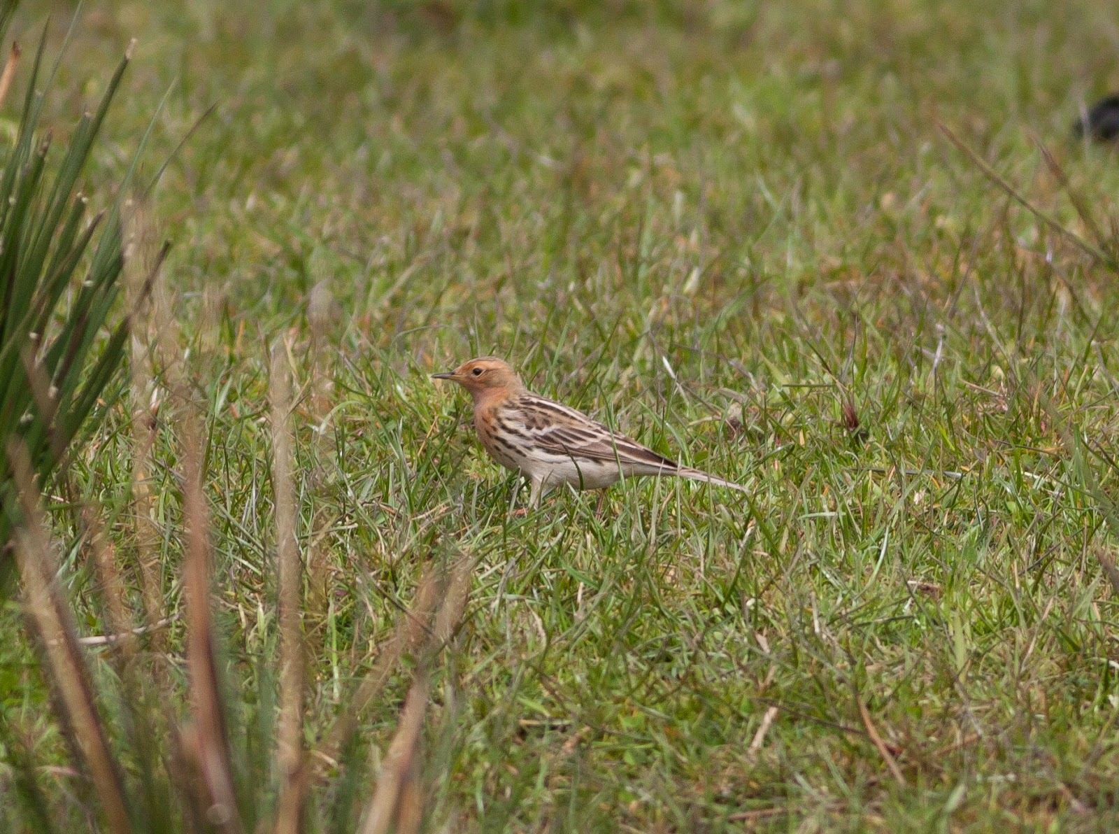 Red-throated Pipit - Ludworth Moor