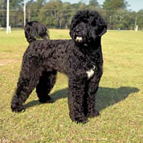 Spanish Water Dog For Sale Australia