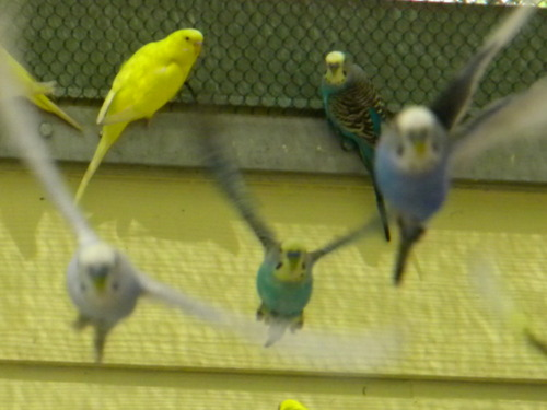 Budgies are Awesome: Can male budgerigars live together?