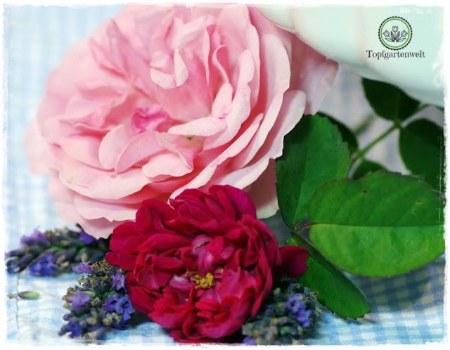 Rose de Resht Duftrose zum Backen Rosentarte - Foodblog Topfgartenwelt