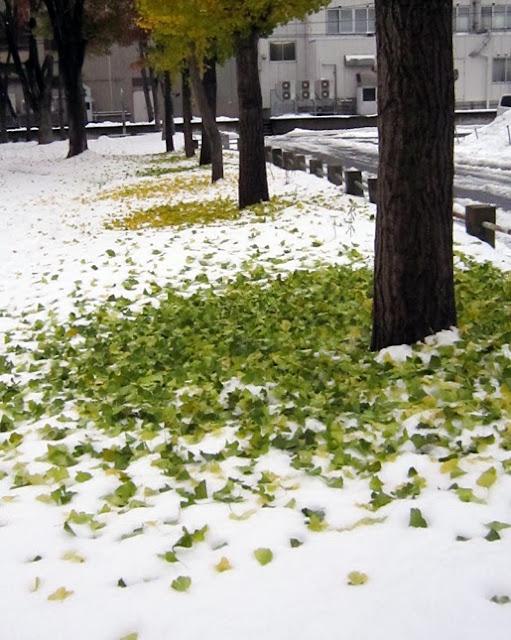 白い雪の上のイチョウの落ち葉