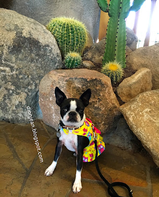 Sinead the Boston terrier and cactus
