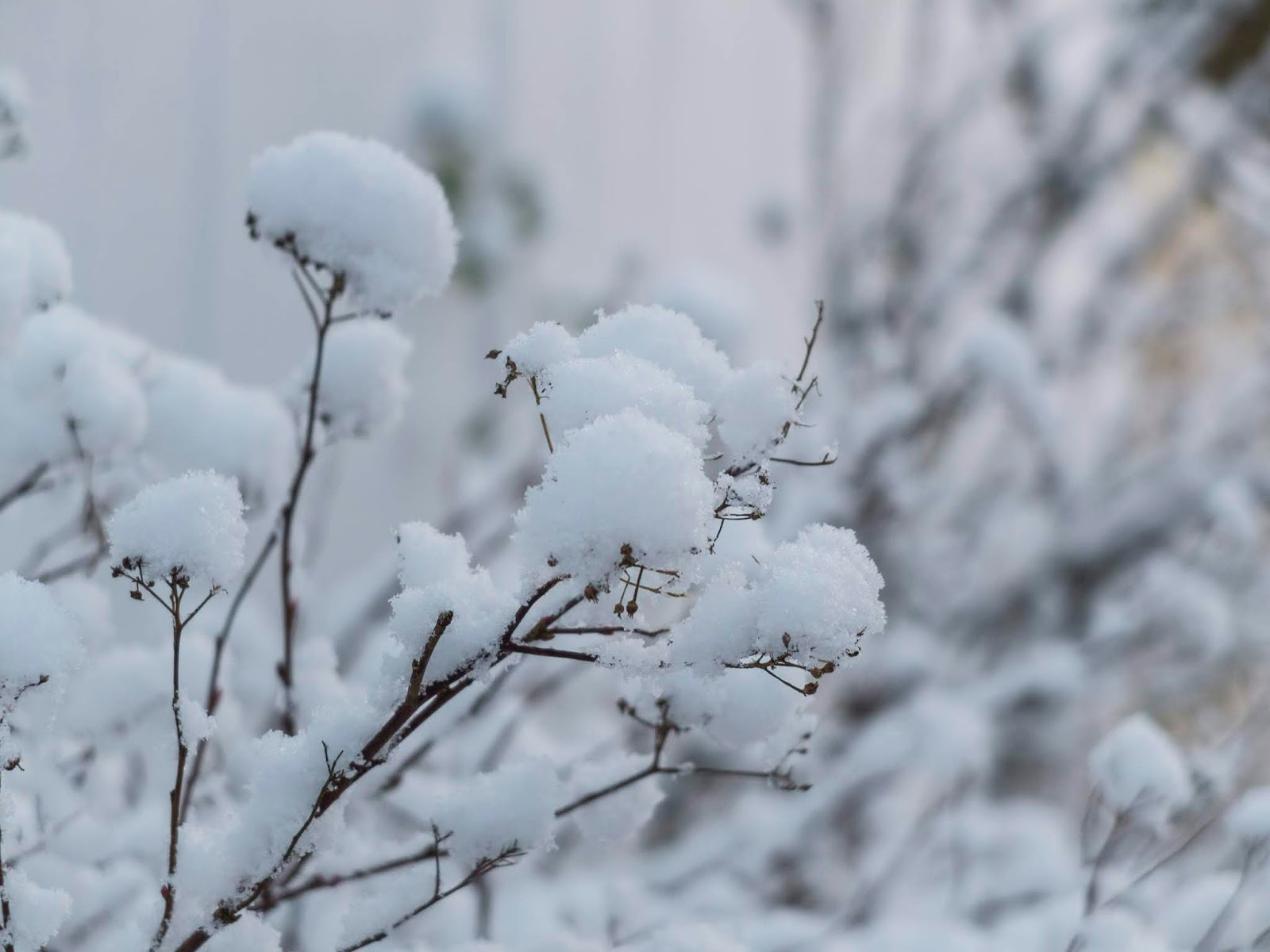 Clusters of snow balls sitting on top of plant branches in my garden.