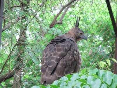 Burung Lnagka Elang