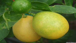 Limequat fruit images wallpaper
