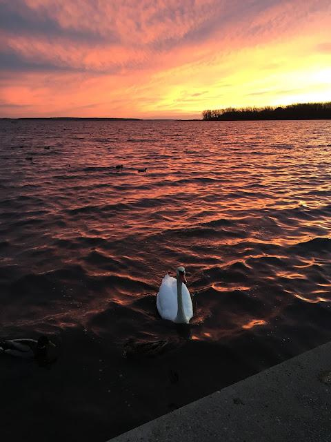 Sonnenuntergang mit Schwan am Salzhaff