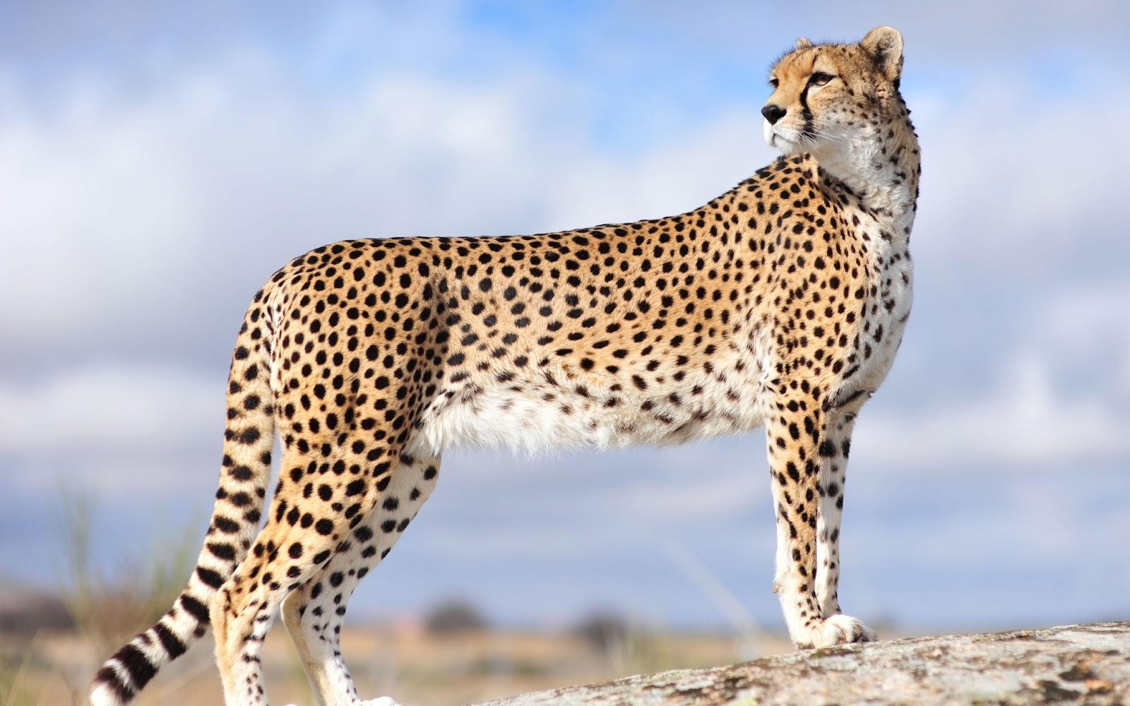 Cheetah | World Fastest Animal Interesting Facts | Animals Lover