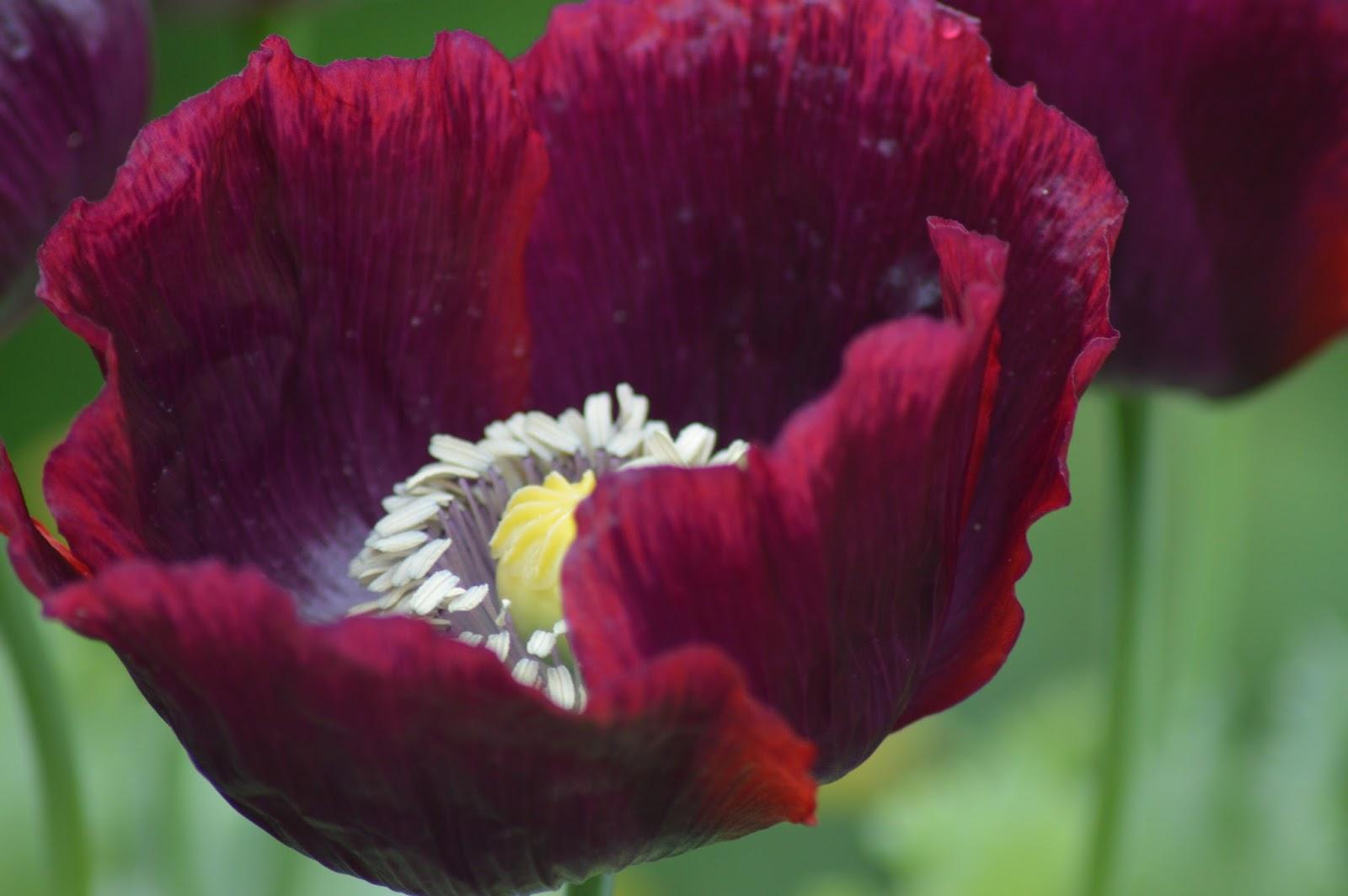 Flower Garden: Poppy Love