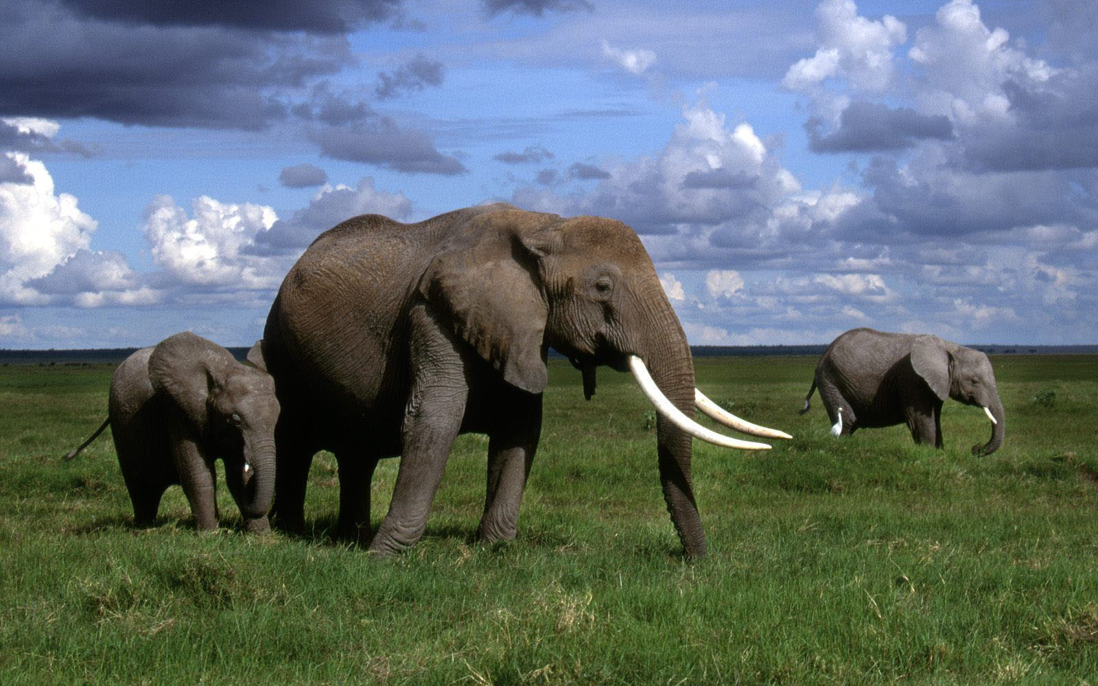 Wallpapers african elephant wallpapers - All animals hd wallpapers ...