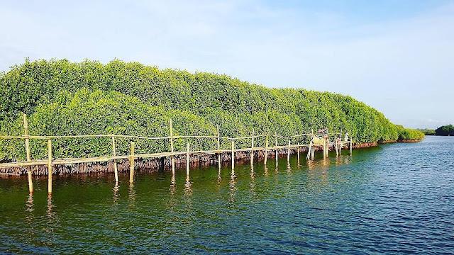 Rute Menuju Hutan Mangro Congot