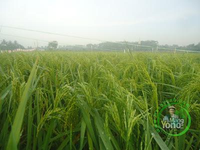 FOTO 1 : Padi NAZWA 65 HST di Cibandung, Sudah Matang Adonan. 80 HST Panen