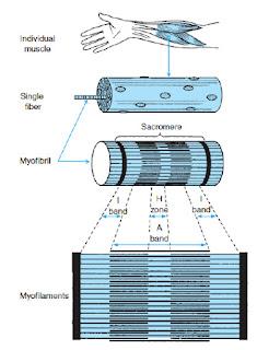 kontraktilni elementi mišice