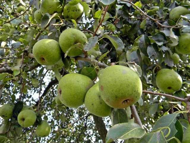 sad, owoce, drzewo, liście