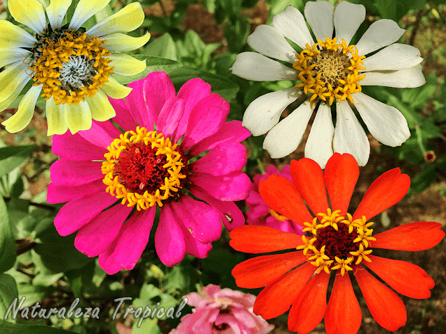 Los hermosos Clavelones y sus colores, género Zinnia