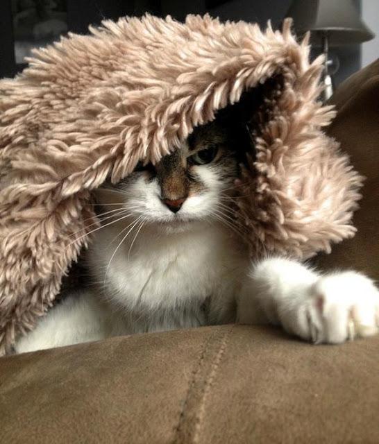 Chùm ảnh 16 chú mèo đã cảm thấy chán ngấy mùa đông