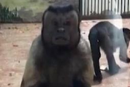 Hih! Monyet Ini Mirip Wajah Orang Stres, Netizen Cina Heboh