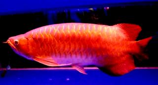 Gambar arwana super red