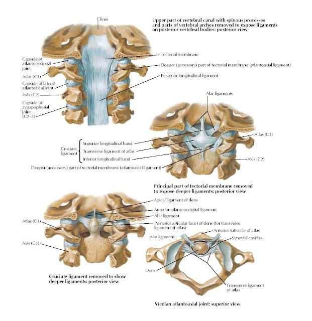 Internal Craniocervical Ligaments Anatomy