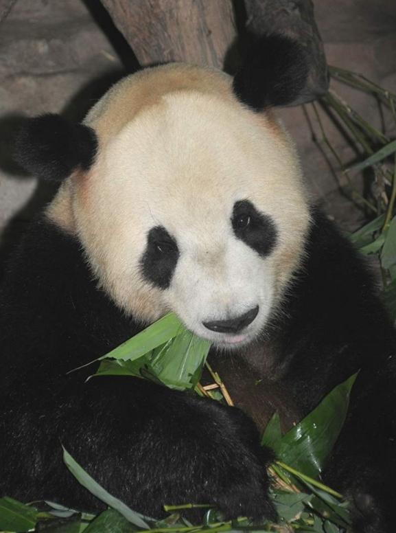 Happy Birthday Animated Wallpaper Animals Wallpapers Giant Panda Cool Facts Panda Kids