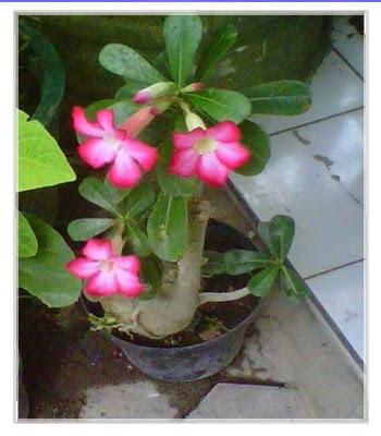 Bunga Kamboja Jepang Tanaman Hias Di Depan Rumah