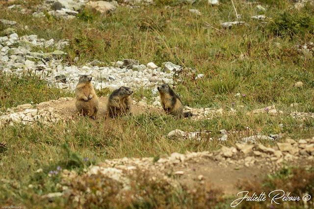 Marmotte, parc national de la vanoise