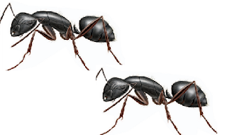 Natural remedy to get rid of carpenter ants How to get rid of ants naturally from your house