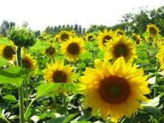 Bunga matahari (Helianthus annuus L.)