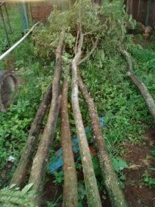 Jual Pohon Pelindung Trembesi Besar | Jual Aneka Pohon Pelindung | Jasa Tanam Dan Suplier Pohon Pelindung