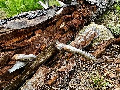 tronco em decomposição